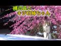 桃の花とキジ白姉ちゃん